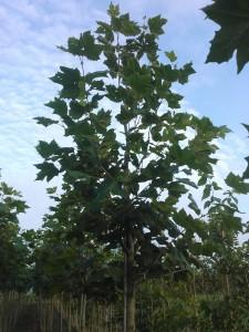 Platanus acerifolia 2